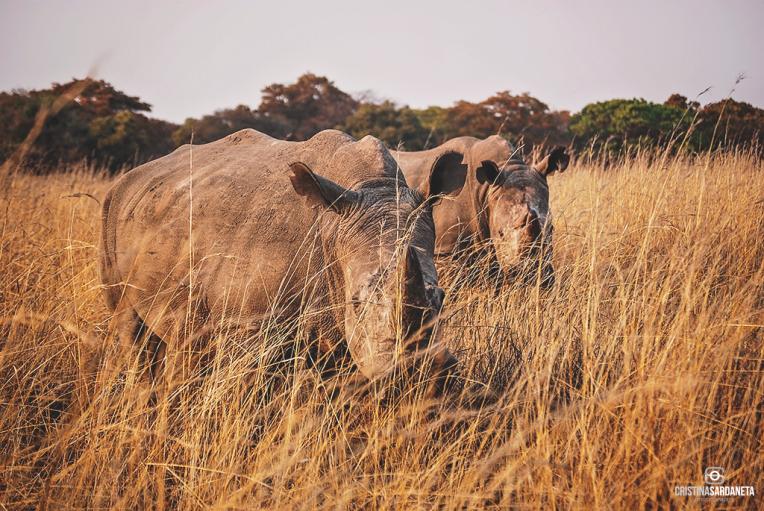 Una pareja de rinocerontes blancos.